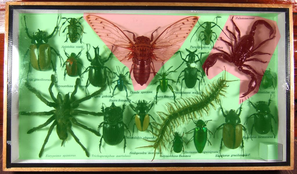 Real Display Insect Taxidermy Big Set in Box for Collectible Gift #09