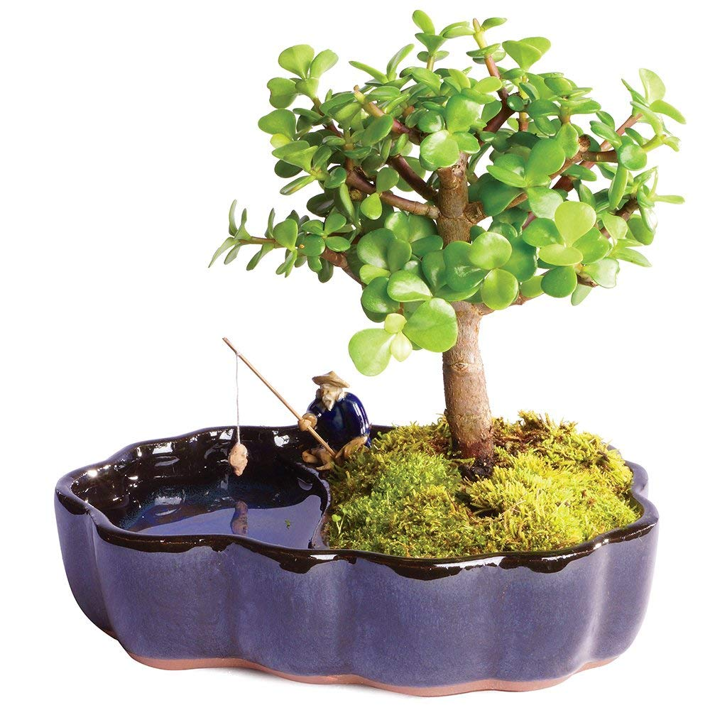 Brussel's Bonsai Live Dwarf Jade Indoor Bonsai Tree in Zen Reflections Pot - 3 Years Old; 8'' to 10'' Tall