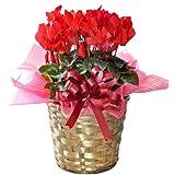 花由 バスケット付き シクラメン5号 華やかレッド【12月15日~12月21日のお届け】
