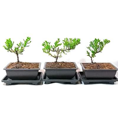 "Japanese Juniper Bonsai Tree Plastic Pot with Tray 5"" Long- 3 of Pack by JM BAM: Garden & Outdoor"