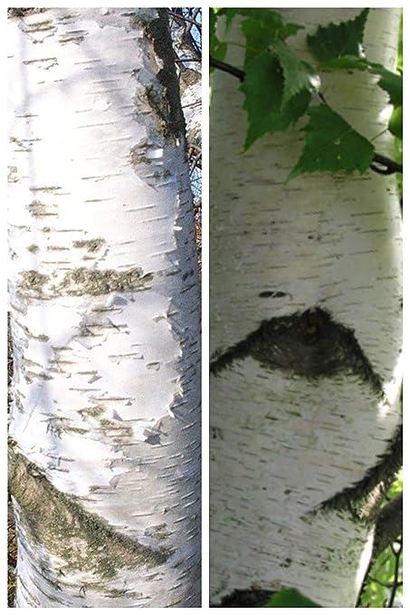 6737c77f03c Amazon.com   Betula pendula  European White Birch Seeds   Tree Plants    Garden   Outdoor