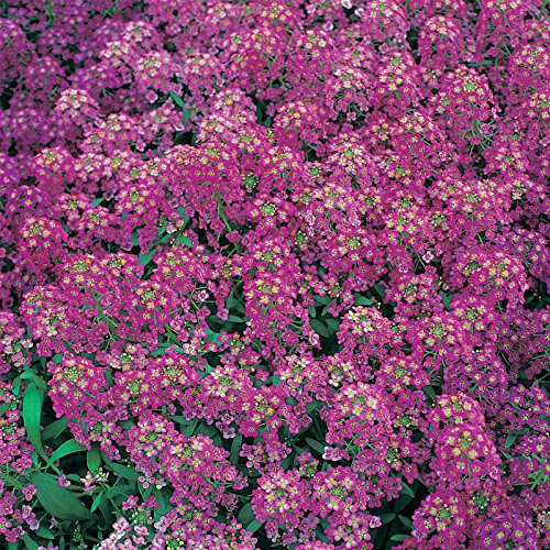 Alyssum Royal Carpet Flower Garden Seeds - 1 Oz Bulk: Approx 90.000 Seeds - Annual - Lobularia maritima