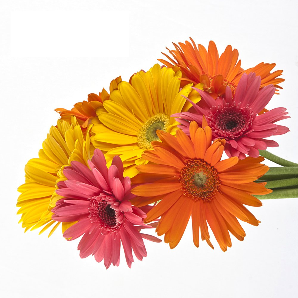 Wholesale Gerberas (150 Assorted) by eFlowy (Image #1)