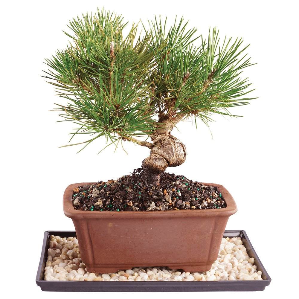 Brussel's Live Japanese Black Pine Outdoor Bonsai Tree - 6 Years Old; 10'' to 12'' Tall with Decorative Container, Humidity Tray & Deco Rock