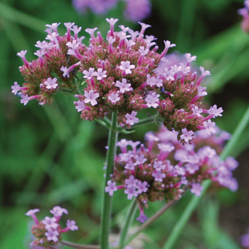 flower seeds 200 pcs Verbena Verbena Bonariensis