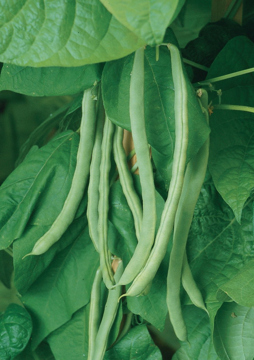 Burpee Kentucky Wonder Pole Bean Seeds 8 ounces of seed by Burpee (Image #3)