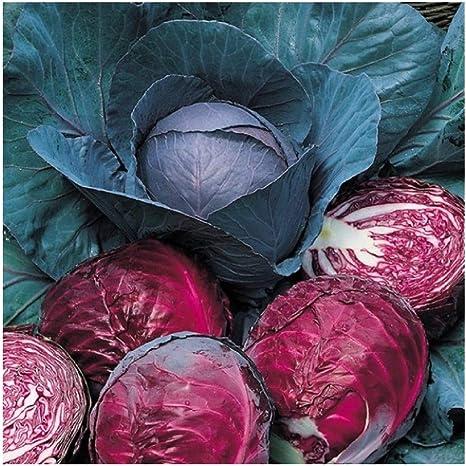 1100 Seeds Cabbage round Red Dark Drumhead Vegetable Garden Vegetables Plants