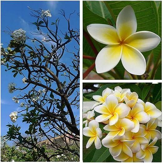 Ncient 20/50 Semillas de Plumeria Rubra Lei Fresh Semillas Flores Raras Plantas Bonsai Semillas Fragantes para Jardín Balcon Interior y Exteriores: Amazon.es: Jardín