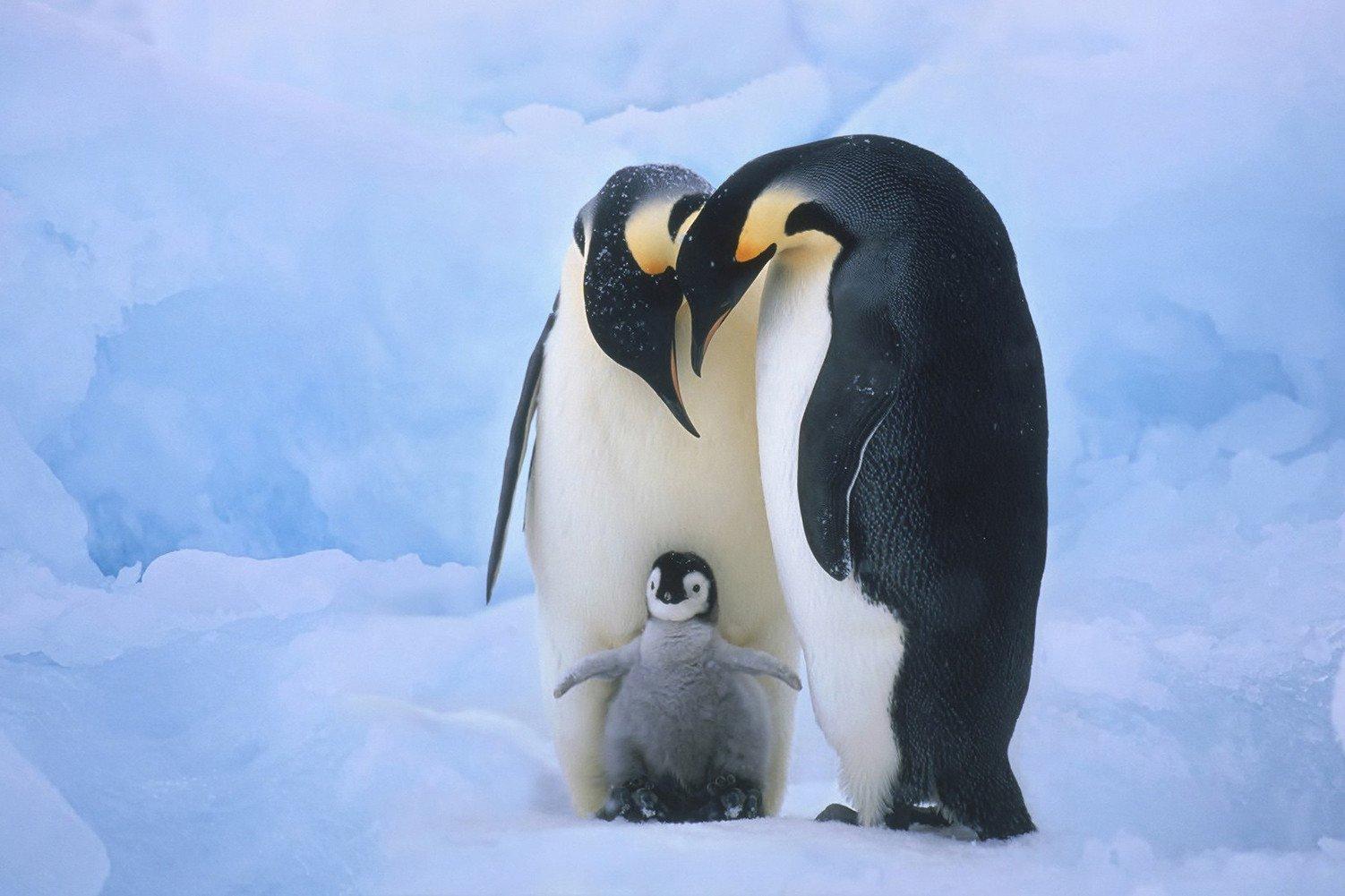 CHOIS Custom Films CF3310 Animal Penguins family Glass Window Decor DIY Stickers 4' W by 3' H