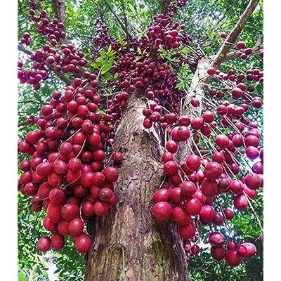 Baccaurea parviflora Phyllanthaceae 100 Seeds ThailandMrk : Garden & Outdoor