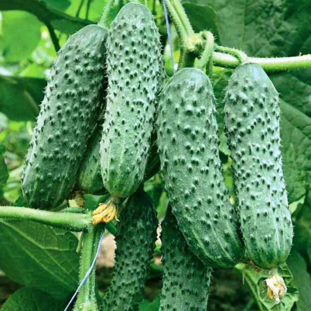 NON GMO Hybrid Vegetable Seeds Cucumber Jealous Neighbor F1