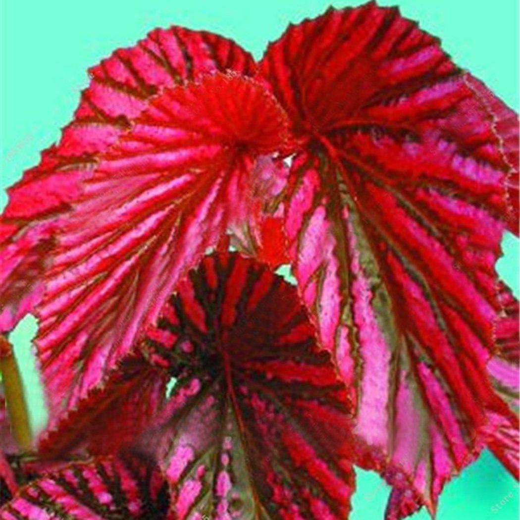 Yukio Samenhaus 50 Stück Plectranthus scutellarioides Buntnessel auffällig Topfgarten Zimmerpflanzen
