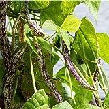 David's Garden Seeds Bean Bush Dragon's Tongue 2848 (Multi) 100 Non-GMO, Open Pollinated Seeds