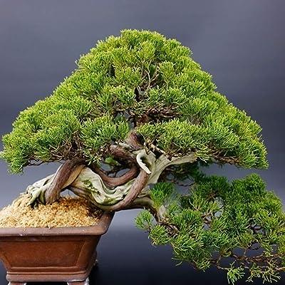 JingYu 40Pcs White Pine Seeds, Green Pinus Bonsai Plant Parviflora Tree Decorate Garden and Offcie White Pine Seeds 40 Pcs : Garden & Outdoor