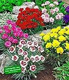 BALDUR-Garten Prachtmischung 'Duft-Gartennelken', 5 Pflanzen Dianthus winterhart