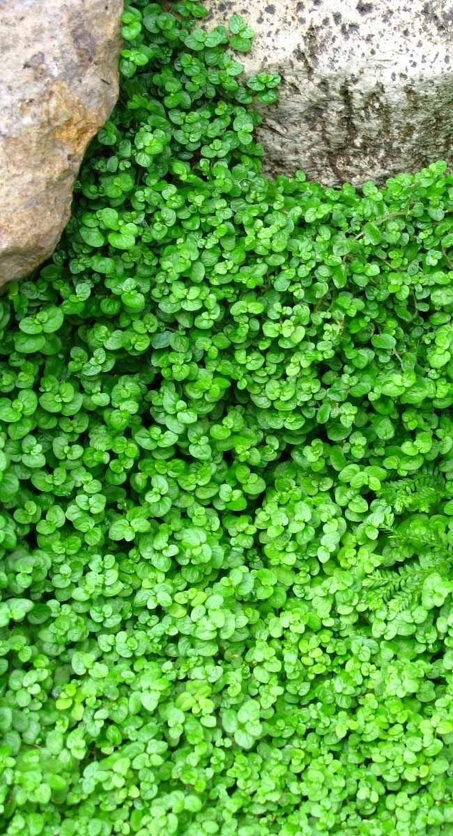Picture of BABY TEARS Live Plants Groundcover Plant - 12 Live Plants