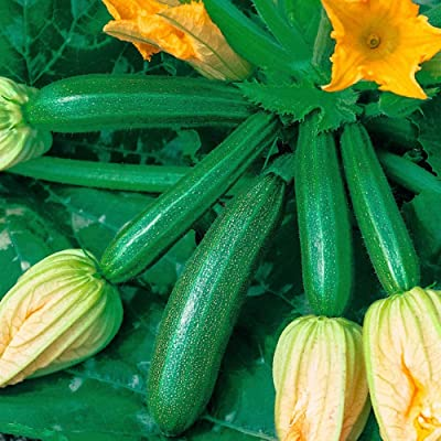 angel3292 Zucchini Seeds, 10Pcs Climbing Summer Squash Zucchini Seeds Nutritious Vegetable Garden Plant Zucchini Seeds : Garden & Outdoor