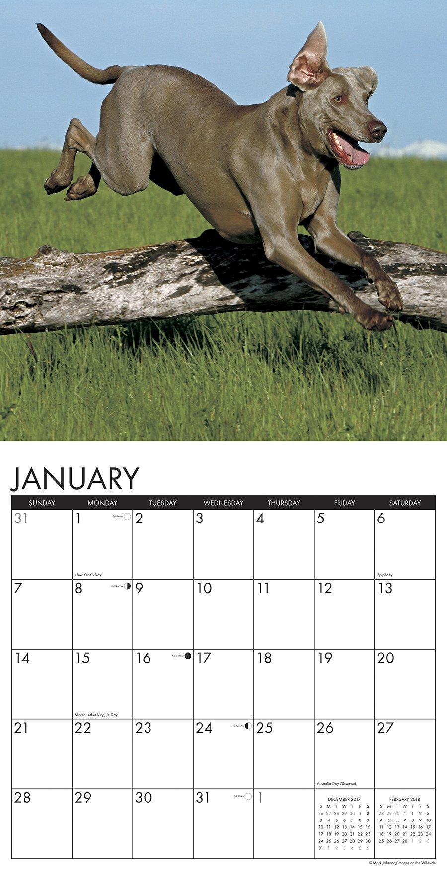 Just weimaraners 2018 wall calendar dog breed calendar willow just weimaraners 2018 wall calendar dog breed calendar willow creek press 9781682346372 amazon books nvjuhfo Image collections