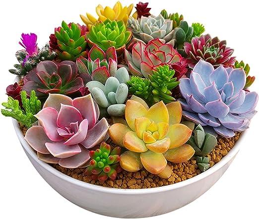 Rosepoem 100 unid / paquete multi plantas suculentas semillas plantas ornamentales semillas patio jardín con semillas de flores: Amazon.es: Jardín