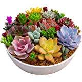 Ccoco 100pc/Package Multi Succulent Plants Seeds Ornamental Plants Seeds Courtyard Garden with Flower Seeds