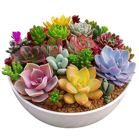Rosepoem 100 Unid Paquete Multi Plantas Suculentas Semillas