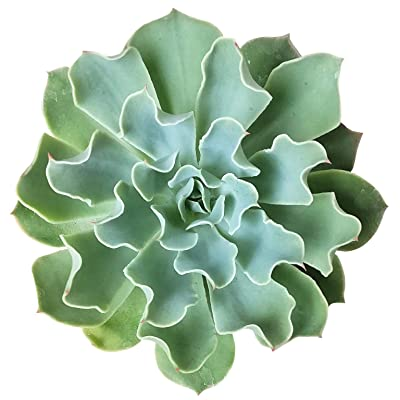 Echeveria Gray Curly Leaves Purple Succulent (4 inch Pot) : Garden & Outdoor