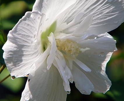 Amazoncom White Chiffon Hibiscus Syriacus Notwoodtwo Rose Of