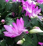"""Hirt's Pink Christmas Cactus Plant - Zygocactus - 4"""" Pot"""