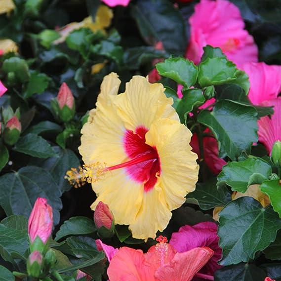 Stanza pianta perenne sementi giardino d/'inverno terrazza Exot i i GIGANTE-Hibiskus