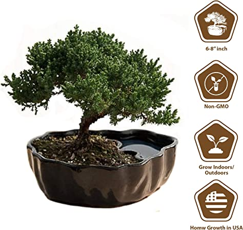 9GreenBox planta de bonsái: Amazon.com: Grocery & Gourmet Food