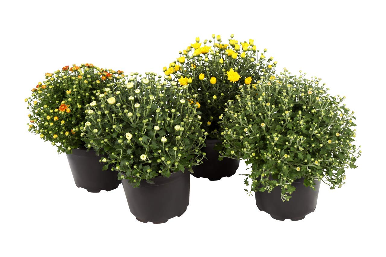 The Three Company Beautiful Fall Plant Hardy Chrysanthemum ((4 Per Pack), 8'' Pot Size, Assorted Colors by The Three Company