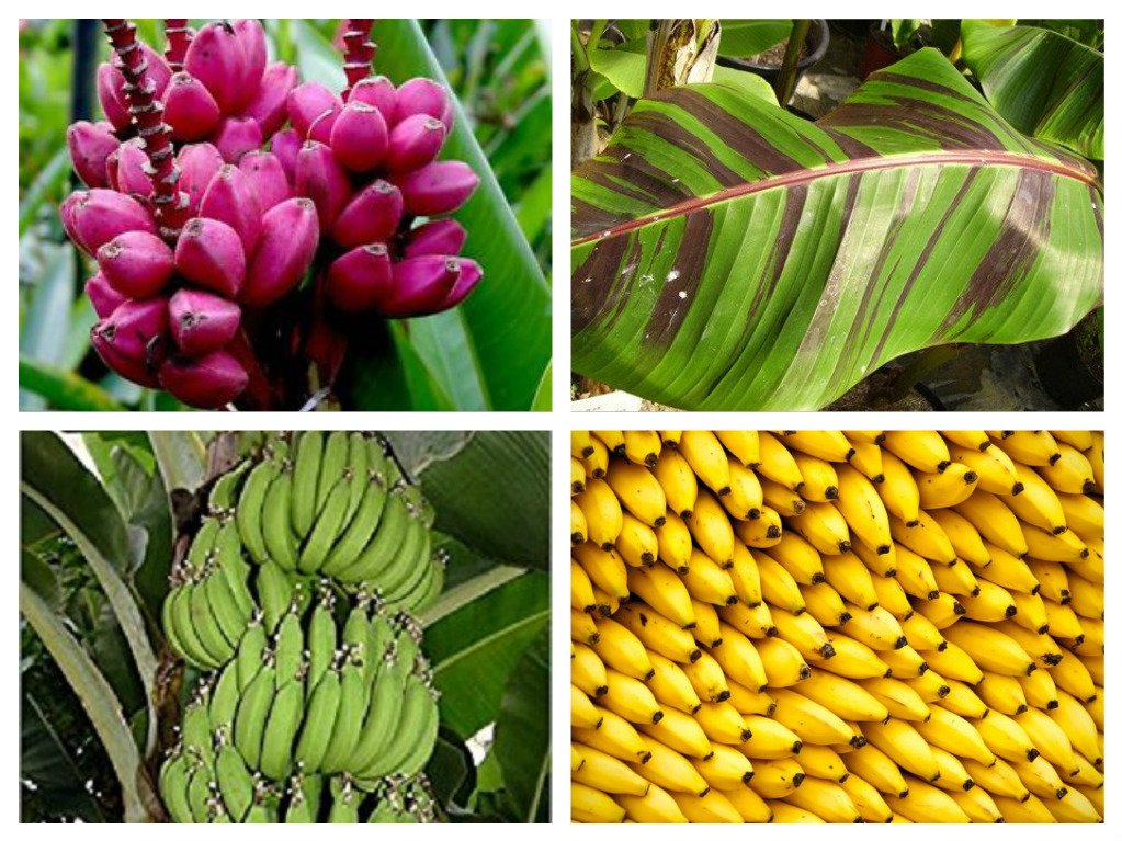 4 Packets Banana seed collection Seeds Musa sikkimensis Musa Velutina Musa Acuminata Musa Itinerans by Pretty Wild Seeds Fresh Seeds