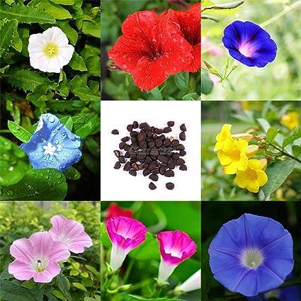 Amazon com : Plentree Green: 50Ã- Super Big Morning Glory Seeds
