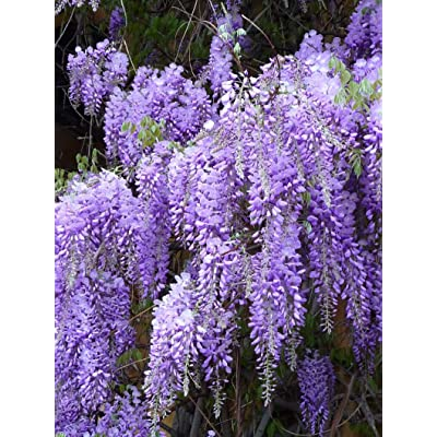 Blue Chinese Wisteria Seeds - Wisteria sinensis - Perennial Climbing Vine, Fragrant Flowers (3 Seeds) by AchmadAnam : Garden & Outdoor