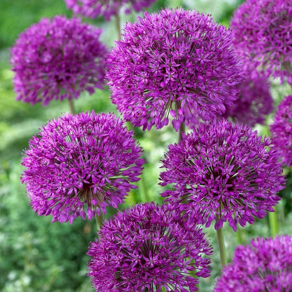 Amazon 20 Purple Sensation Allium Bulbs 4 6 Inch Flower