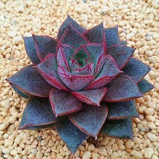 Lonlier Semillas de Suculentas de Colores 100 pcs Flores para Jardín Huerto Semillas Plantas: Amazon.es: Jardín