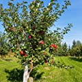 Van Zyverden Apple Tree - Honeycrisp - 1 Root Stock