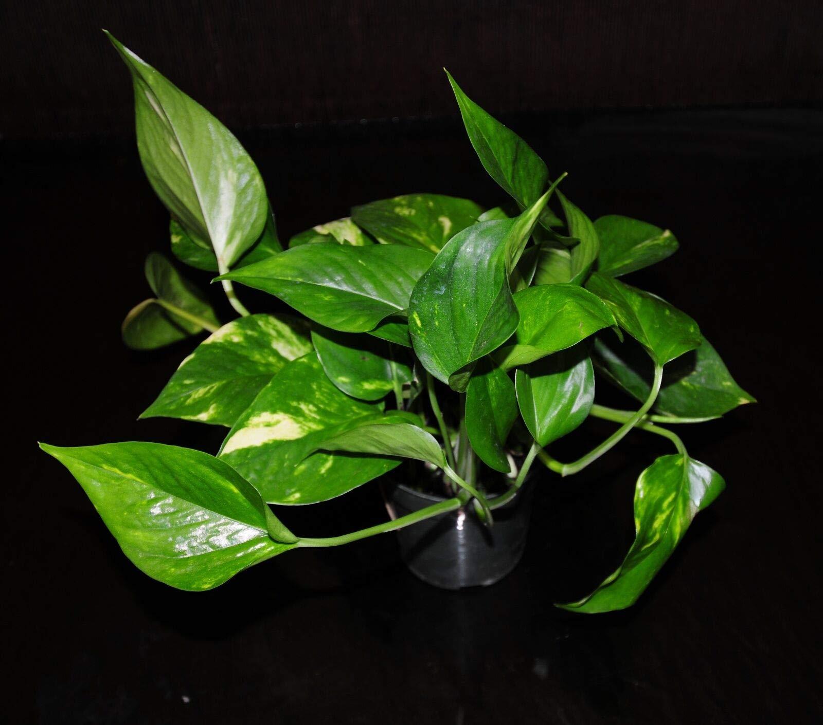 Golden Pothos 4'' Pots Easy Tropical Vining House Plant Super Large & Full (Premium Quality) by AY-Premium