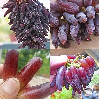HOTUEEN Grapes Seeds Rare Fruit Bonsai Planting Home Farm Garden Decor Fruits : Garden & Outdoor