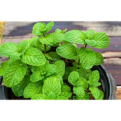 Home Garden - apple mint - for indoor and balcony cultivation; pineapple mint, woolly mint, round-leafed mint - seeds : Garden & Outdoor