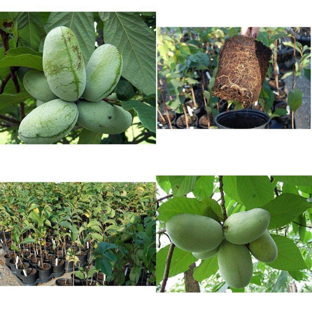 Paw Paw Trees Banana Fruit Asimina Triloba Outdoor Garden Gallon Pot Plant V3