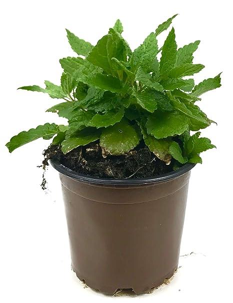 Asthisamharaka Cissus quqdrangularis Des Teufels R/ückgrat ayurvedische Heilpflanze