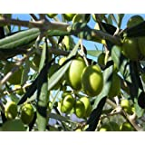 ALBERO DI ULIVO CORATINO DA OLIO- pianta da frutto da esterno