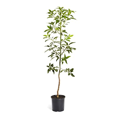 Brighter Blooms Cold Hardy Avocado Tree, 4-5 Ft. | Exotic, Delicious & Climate-Resilient | Greenhouse-Grown, Grafted (not Seed Grown) for Earliest Fruit | No Shipping to AZ : Garden & Outdoor