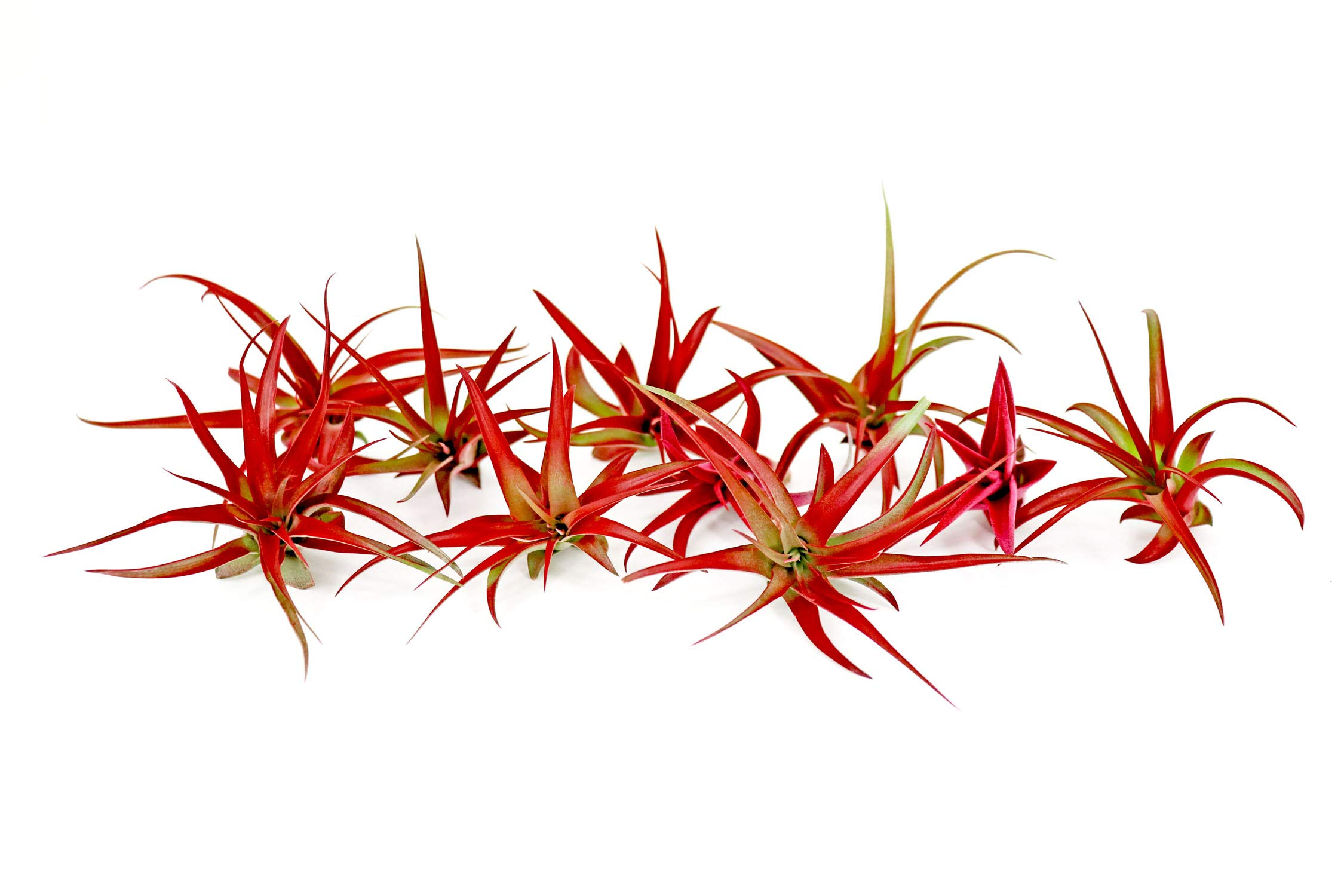 10 Live Air Plants | Bright Red Tillandsia Air Plant Pack | Colorful Indoor Plants | Real Houseplants | Easy Terrarium Decor Kit by Plants for Pets by Plants for Pets (Image #3)