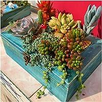 Semillas de plantas suculentas 1 paquete