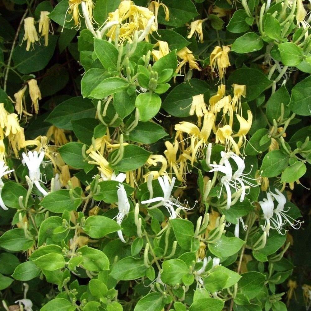 2 Small Plant Hall's Japanese Honeysuckle Lonicera Japonica Rooted Vines TkKauai23