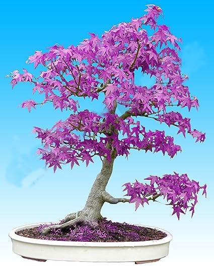 20pcs Purple Blue Ghost Japanese Maple Tree Acer Palatumbonsai
