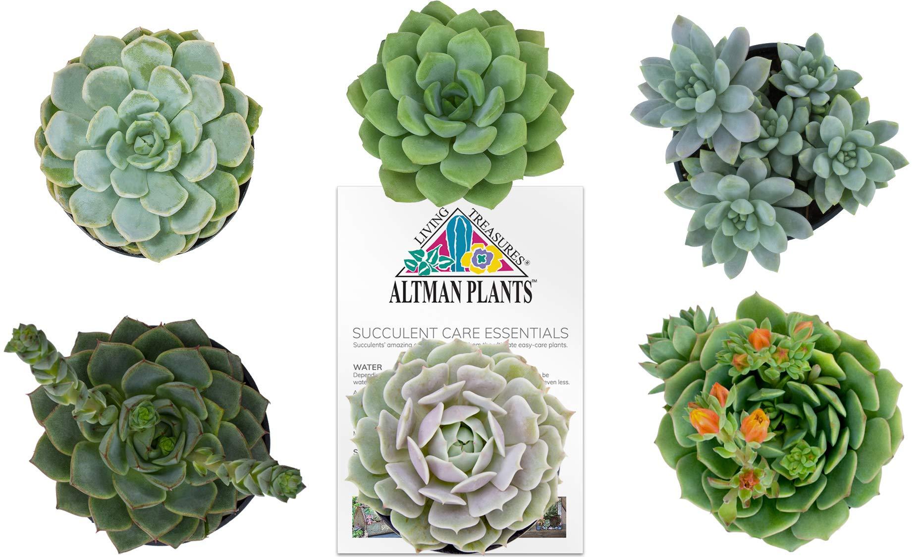 Altman Plants Assorted Live Succulents Flowering Rosette Collection Echeveria, sedeveria, perfect for party favors and arrangements, 3.5'', 6 Pack