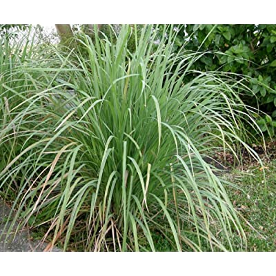 100 Lemon Grass Seeds (Free Gift Included) : Garden & Outdoor